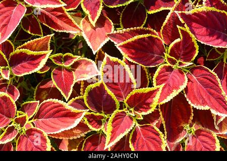 Beautiful red-yellow leaves of Coleus blumei Plectranthus scutellarioides. - Stock Photo