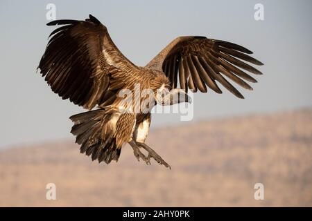 White-backed vulture in flight, Gyps africanus, Zimanga Game Reserve, South Africa - Stock Photo