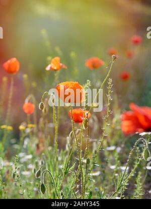blooming red poppies in a field in the sunset, summer evening, close up. - Stock Photo
