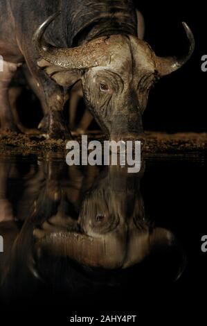 Cape buffalo, Syncerus caffer, Zimanga Game Reserve, South Africa - Stock Photo