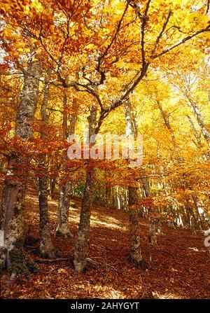 Montejo beech forest in Autumn. Montejo de la Sierra, Madrid province, Spain. - Stock Photo