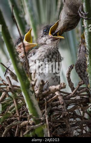 Florida mockingbird chicks being fed in their nest nestled in a Florida Chinesese fan palm tree (Livistona chinensis). The Florida Mockingbird (Mimus - Stock Photo