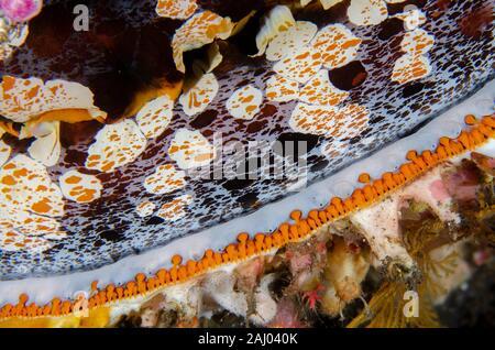 Variable Thorny Oyster (Spondylus varians, Spondylidae Family) eyes, Dropoff dive site, Tulamben, Bali, Indonesia, Indian Ocean. - Stock Photo