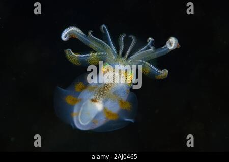 Bigfin Reef Squid (Sepioteuthis lessoniana, Loliginidae Family), night dive, Melasti dive site, Amed, Bali, Indonesia, Indian Ocean. - Stock Photo