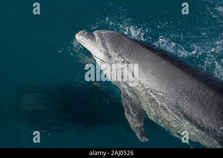 Bottlenose Dolphin (Tursiops truncatus, Delphinidae Family), Queen Charlotte Sound, Marlborough, South Island, New Zealand. - Stock Photo