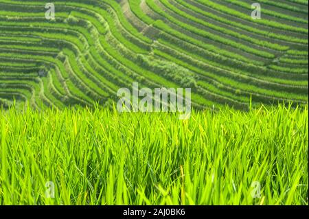 Close-up of green rice plants growing in the fields of the Longsheng Rice Terraces, Guangxi Province, China - Stock Photo