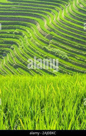 Green rice plants growing in the fields of the Longsheng Rice Terraces, Guangxi Province, China - Stock Photo