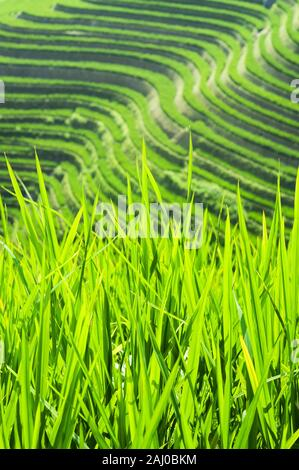 Rice plants in the fields of the Dragon's Backbone Rice Terraces, Longsheng County, Guangxi Province, China - Stock Photo