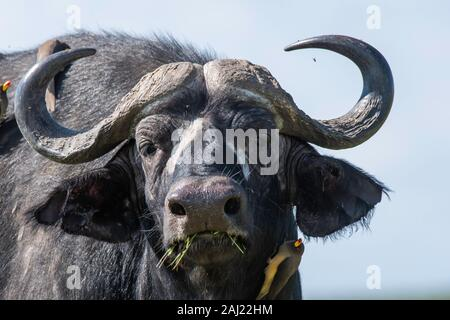 A group of Red-billed Oxpecker sitting on the back of a cape buffalo inside Masai Mara National Reserve during a wildlife safari