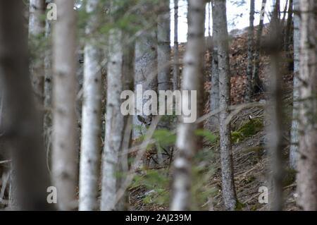 Rehgeiß versteckt im Wald - Stock Photo