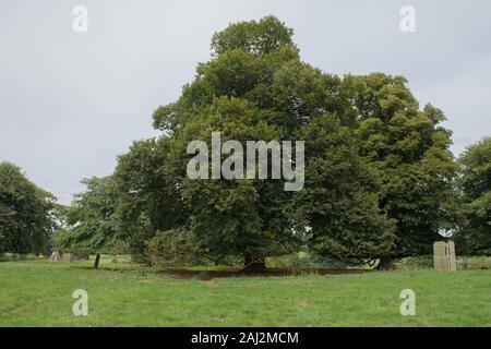 Large Leaved Linden or Lime Tree (Tilia platyphyllos) in Parkland in Rural Devon, England, UK - Stock Photo