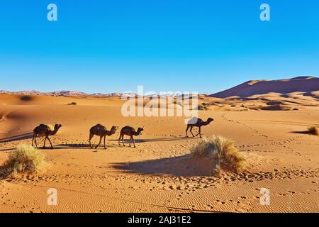 Camel caravan going through the sand dunes in the Sahara Desert. Morocco, Africa - Stock Photo