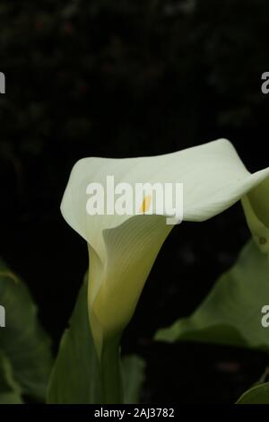 White Calla lily (Zantedeschia aethiopica) photographed in the Botanical gardens in St Andrews against a dark background - Stock Photo