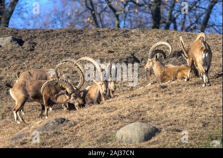 A small group of Ibex enjoying a leisurely afternoon in the sun - Stock Photo
