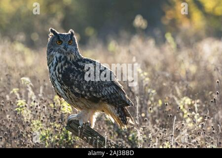 Barn Owl, backlit Stock Photo: 72537207 - Alamy