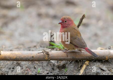 Red-billed Firefinch (Lagonosticta senegala), adult male standing on the ground, Mpumalanga, South Africa - Stock Photo