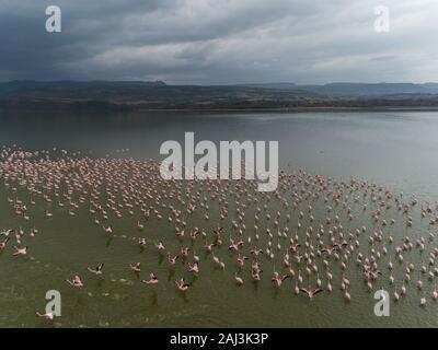 Lesser flamingo, Phoenicopterus minor, Phoenicopteridae, Lake Elmenteita, Kenya, Africa - Stock Photo