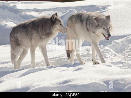 A pair of grey wolves at West Yellowstone - Stock Photo