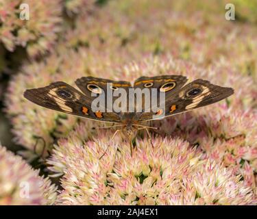 Closeup view of Common Buckeye butterfly feeding on nectar from sedum stonecrops plant in backyard flower garden