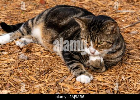 Hemingway polydactyl cat with extra toes lounges in Key West, Florida. - Stock Photo