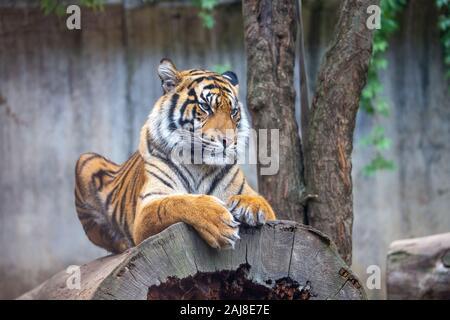 Tiger Sumatran, panthera tigris sumatrae. wildlife animal predator