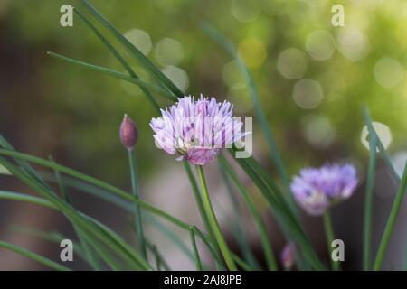 Chives (Allium schoenoprasum) plant in bloom close up.