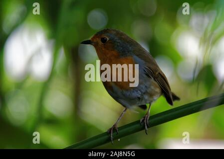The European robin (Erithacus rubecula), known simply as the robin or robin redbreast in the British Isles, is a small insectivorous passerine bird. - Stock Photo