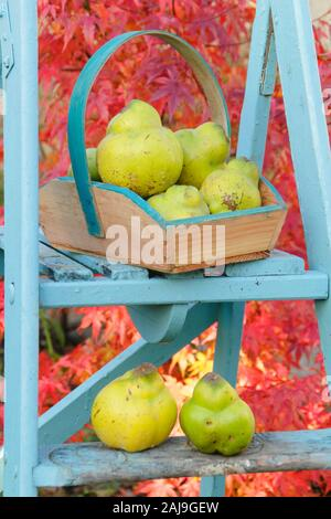 Cydonia oblonga 'Vranja'. Quince 'Vranja', a fragrant, pear shaped fruit in a trug on a ladder in an early autumn garden. UK - Stock Photo