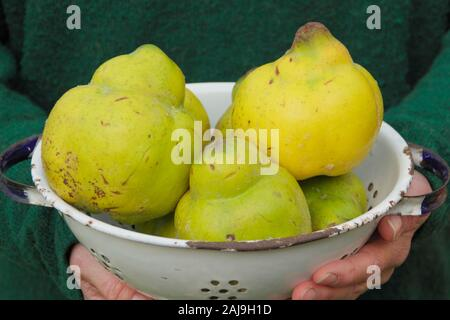 Cydonia oblonga 'Vranja'. Woman holds Quince 'Vranja', a fragrant, pear shaped fruit, in a colander. UK - Stock Photo