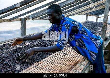 Cocoa drying near agboville, ivory coast - Stock Photo
