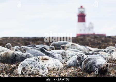 A colony of Atlantic Grey Seals, Halichoerus grypus, basking on the rock at the Farne Islands, Northumberland, a protected wildlife sanctuary. - Stock Photo