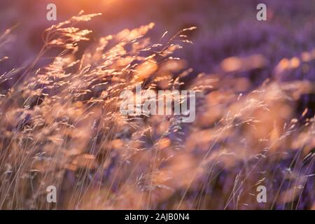 Golden grasses and purple and pink heather flowers catching the golden light as they blow in a gentle breeze at sunset on the heather moors. - Stock Photo