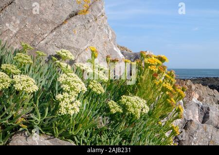Rock samphire / Sea Fennel (Crithmum maritimum) and Golden samphire (Inula crithmoides) clumps flowering among coastal rocks, The Gower, Wales, UK. - Stock Photo
