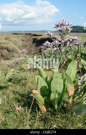Common sea lavender (Limonium vulgare) flowering on a saltmarsh, The Gower, Wales, UK, August. - Stock Photo