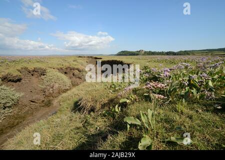 Common sea lavender (Limonium vulgare) flowering in profusion on a saltmarsh, Landimore Marsh, The Gower, Wales, UK, August. - Stock Photo