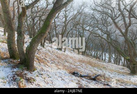An ancient oak tree woodland in winter time with bare trees and a dusting of snow on the ground, in Northumberland - Stock Photo