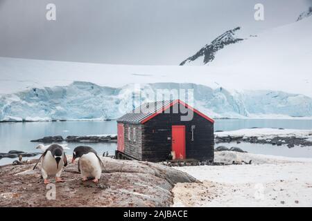 Gentoo penguins at Port Lockroy (penguin post office), Antarctica - Stock Photo