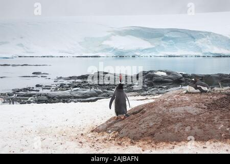 Gentoo penguins at Port Lockroy (penguin post office), Antarctica - Stock Photo