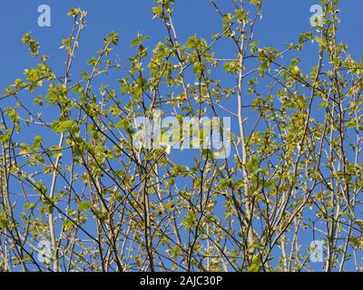 Davidia Involucrata  the dove-tree, handkerchief tree, pocket handkerchief tree, ghost tree. Looking up into tree showing young leaves and flowers - Stock Photo