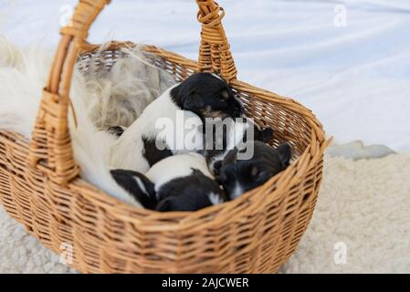 Jack Russell Terrier puppy dogs 12 days old. a litter of young whelp lie in a basket and sleeping - Stock Photo