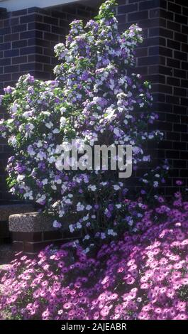 BRUNFELSIA (YESTERDAY, TODAY, TOMORROW) BUSH GROWING BESIDE THE STEPS OF A SUBURBAN SYDNEY HOME. - Stock Photo
