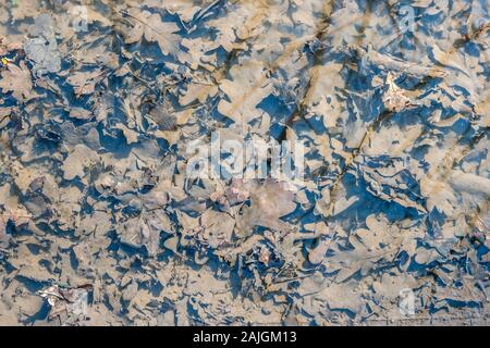texture of fallen oak leaves in a puddle, background - Stock Photo