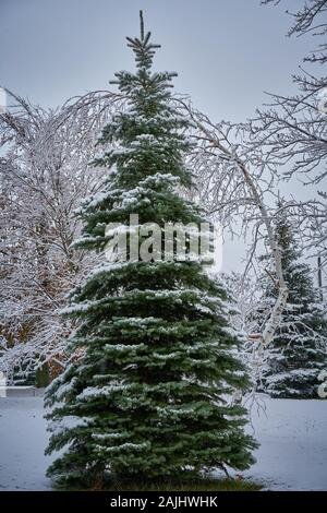 The perfect Christmas Tree covered in fresh snow in the winter wonderland, Great White North, of Niagara Falls, Ontario, Canada. - Stock Photo