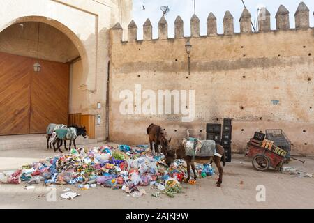 Donkeys searching for food waste in the pile of garbage near city walls and Bab Mahrouk (also known as Bab Mahruq) in Fes (Fez), Morocco - Stock Photo