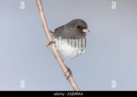 A Northern Slate-colored Junco (Junco hyemalis hyemalis), a subspecies of the Dark-eyed Junco, perches on a twig. - Stock Photo