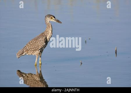 Young yellow-crowned night heron hunting for food in shallows - Stock Photo
