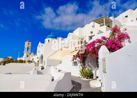 Colorful Bougainvillea flowers with white traditional buildings in Oia, Santorini, Greece