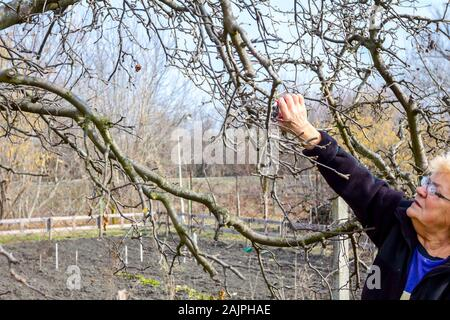 Senior woman is pruning branches of fruit trees in orchard using loppers at early springtime. - Stock Photo
