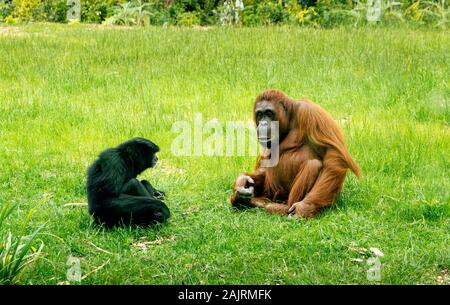 Bornean Orangutans, Pongo Pygmaeus, sharing habitat with Siamang Gibbons, Symphalangus Syndactylus, in Dublin zoo, Ireland. Mammals sitting on grass. - Stock Photo