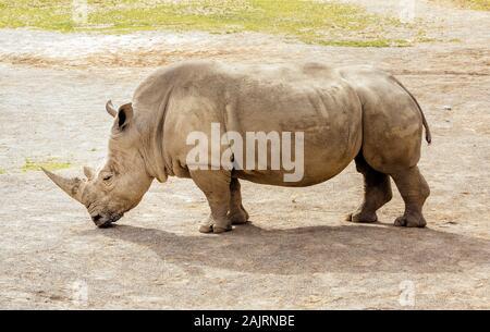Close up of large Southern White Rhinoceros, Ceratotherium Simum, in their habitat in Dublin zoo, Ireland - Stock Photo